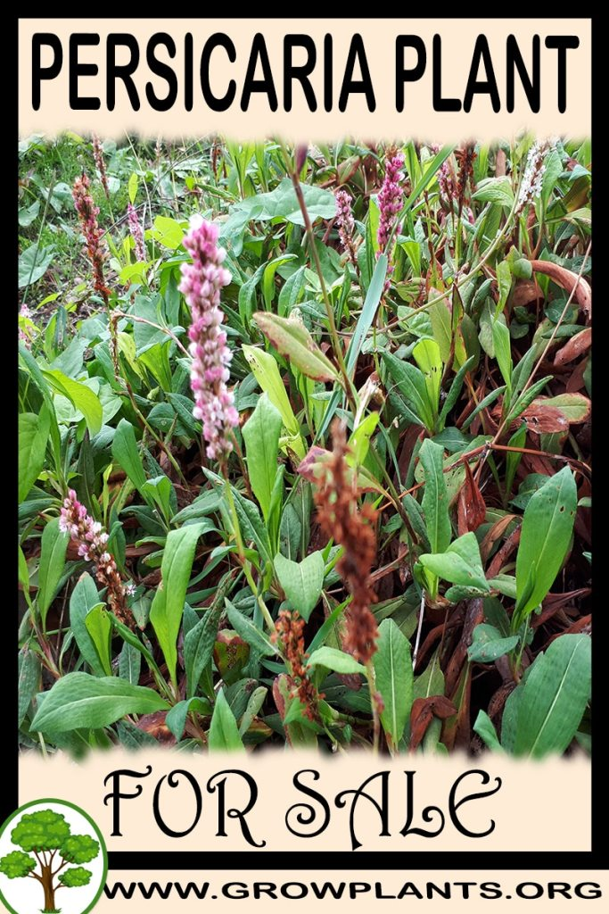 Persicaria for sale
