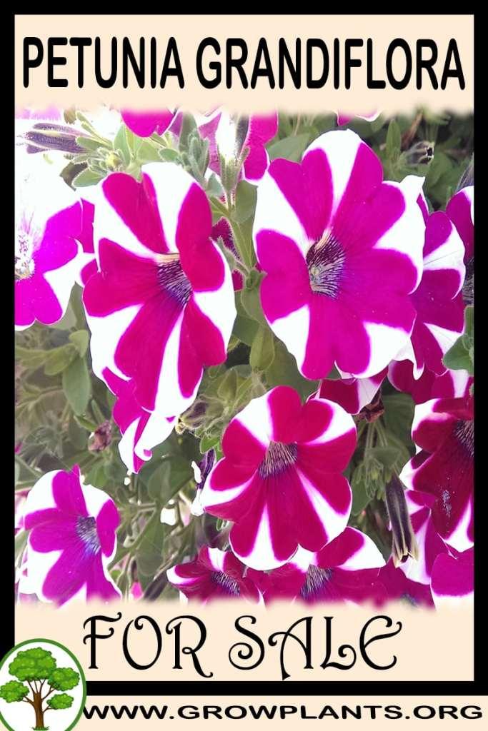 Petunia grandiflora for sale