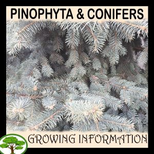 Pinophyta & Conifers