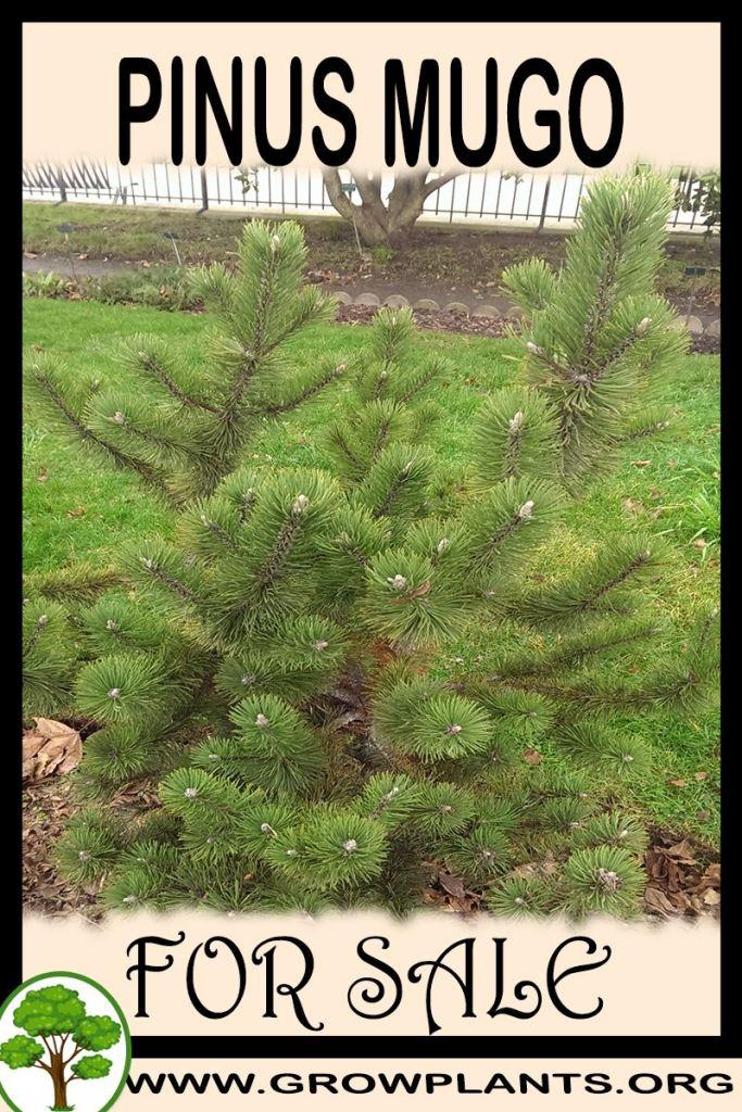 Pinus mugo for sale
