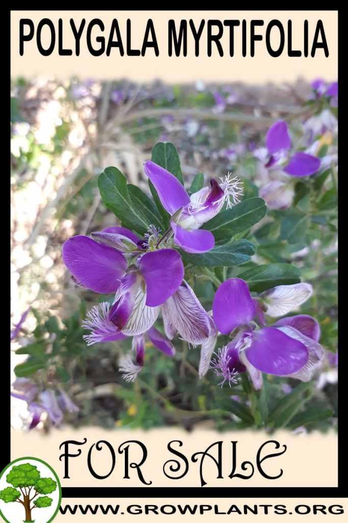 Polygala myrtifolia for sale
