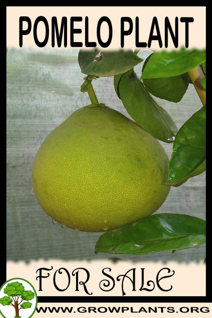 Pomelo plant for sale