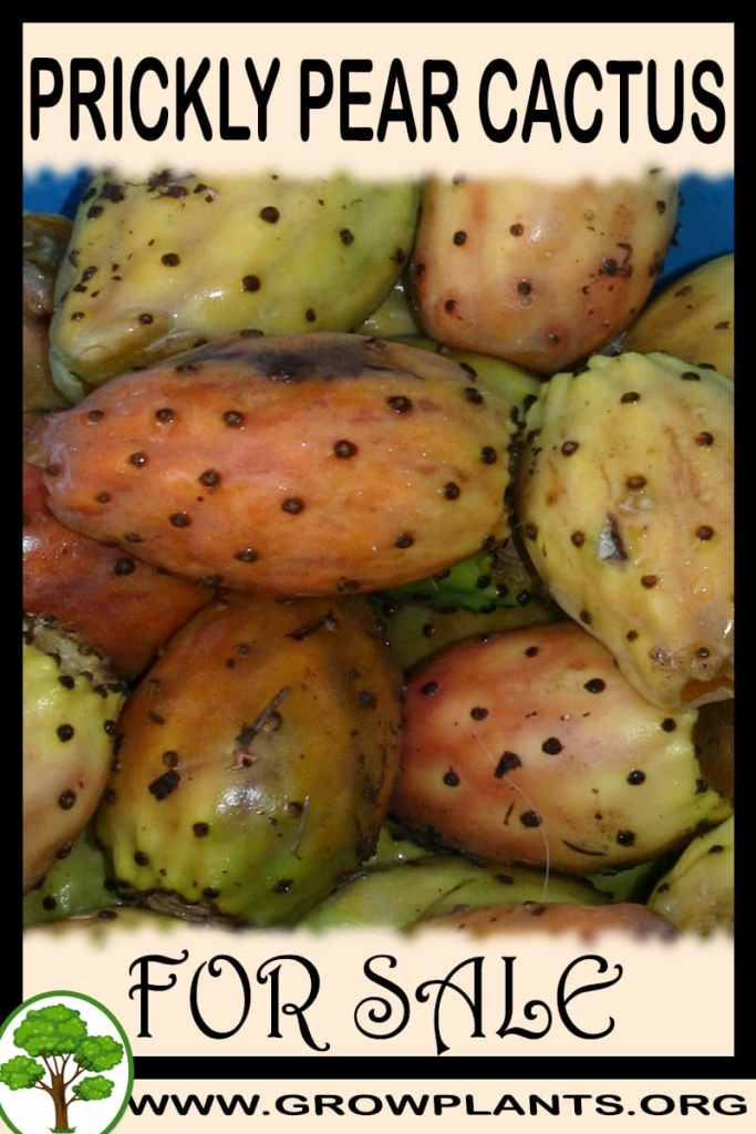 Prickly pear cactus for sale