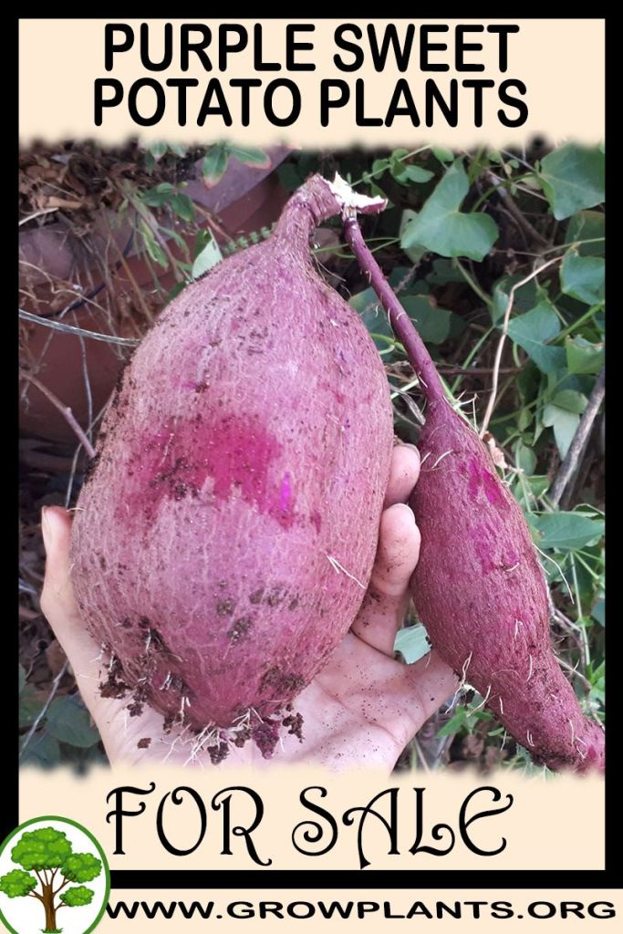 Purple sweet potato plants for sale