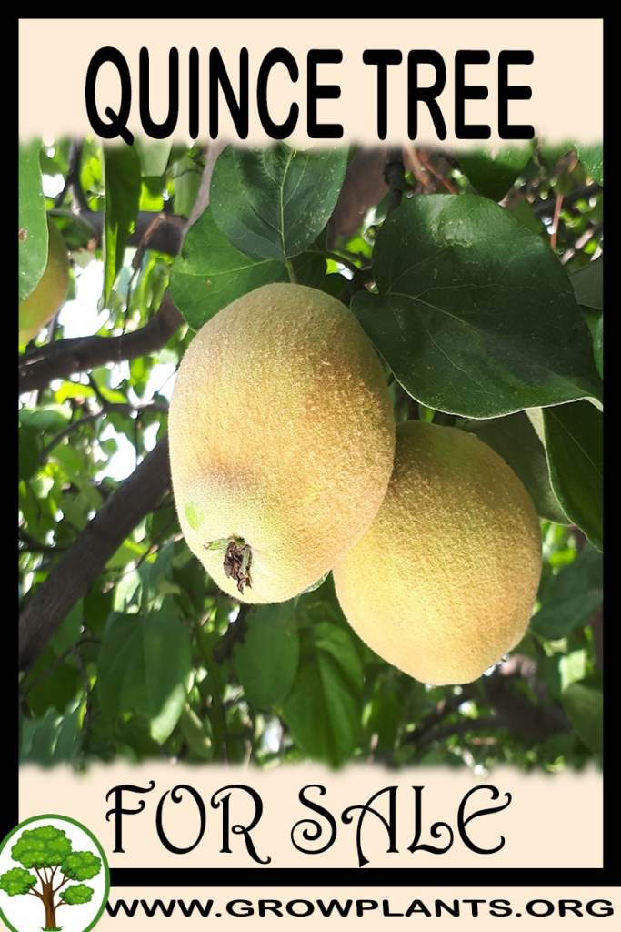 Quince tree for sale
