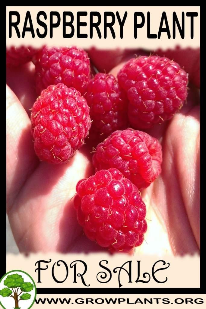 Raspberry plant for sale