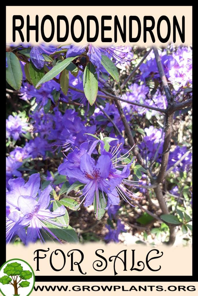 Rhododendron for sale