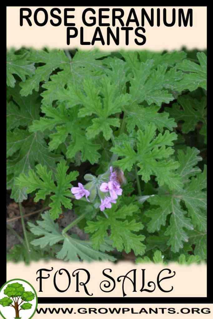 Rose geranium plants for sale