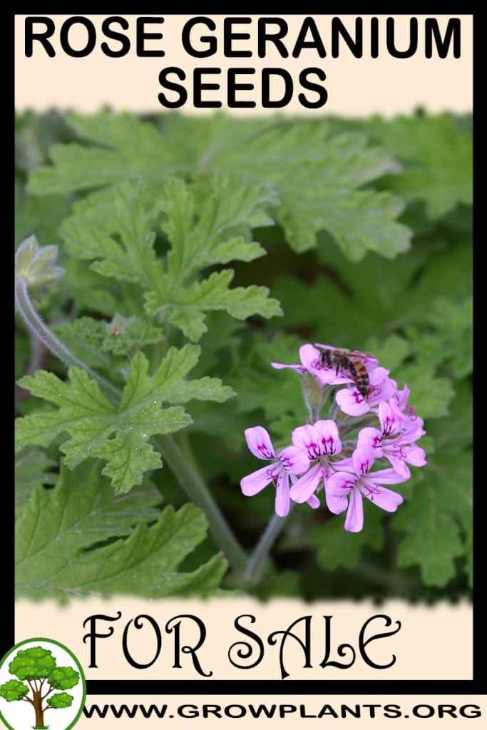 Rose geranium seeds for sale