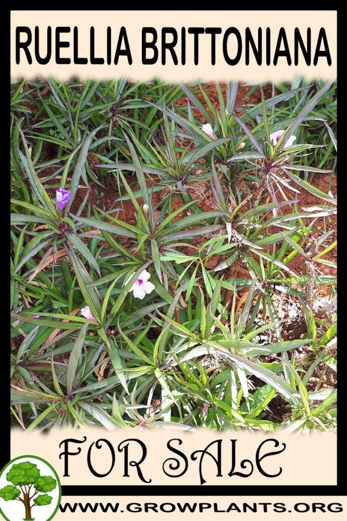 Ruellia brittoniana for sale