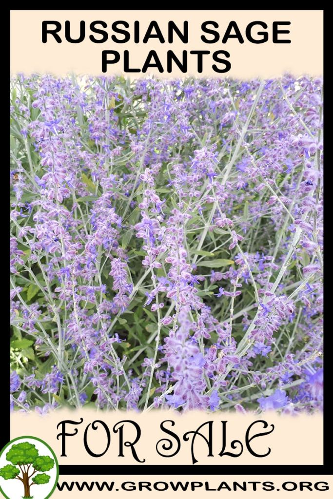 Russian sage plants for sale