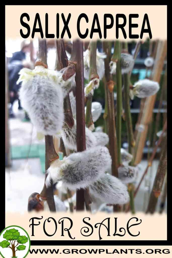 Salix caprea for sale