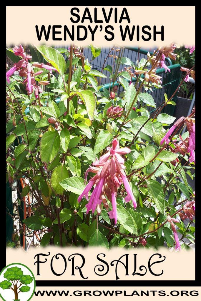 Salvia Wendy's Wish for sale