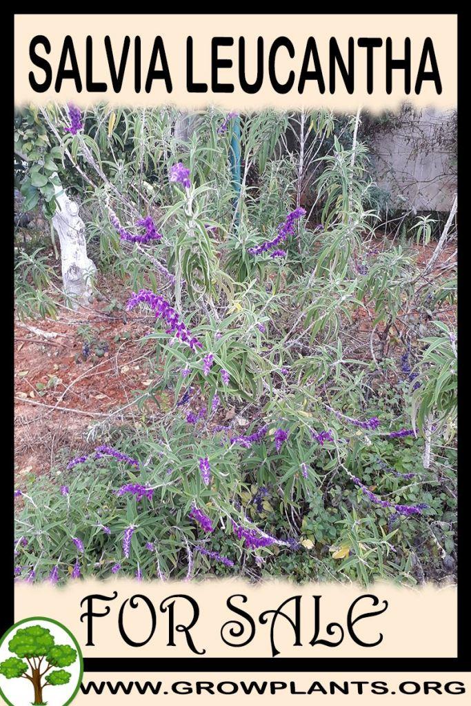 Salvia leucantha for sale