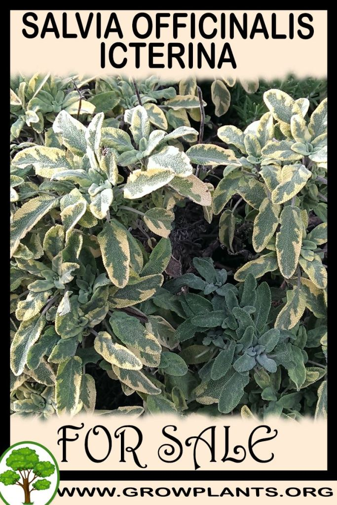 Salvia officinalis Icterina for sale