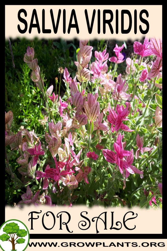 Salvia viridis for sale