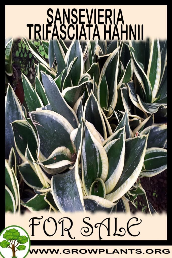 Sansevieria trifasciata Hahnii for sale
