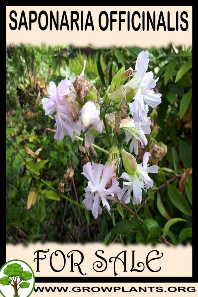 Saponaria officinalis for sale