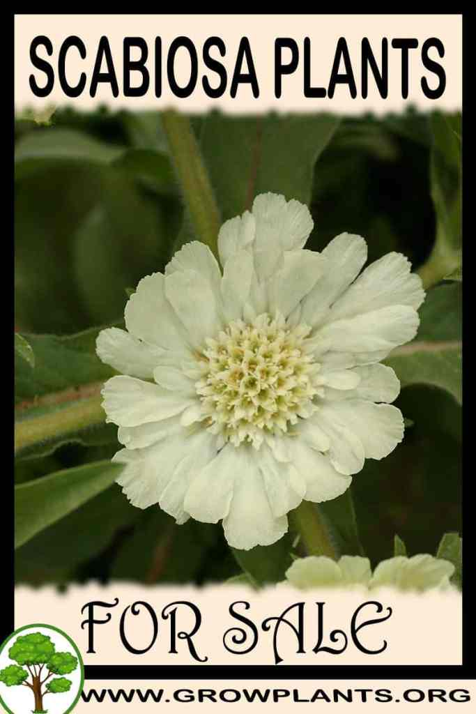 Scabiosa plants for sale