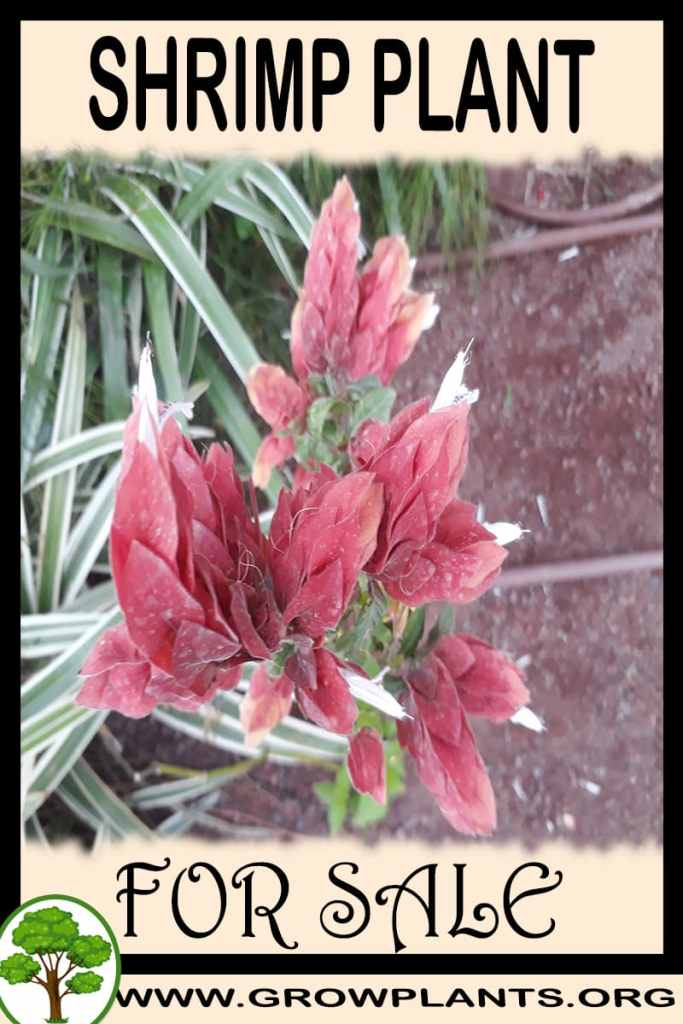 Shrimp plant for sale