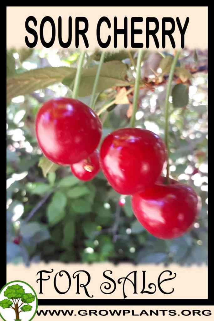 Sour cherry for sale