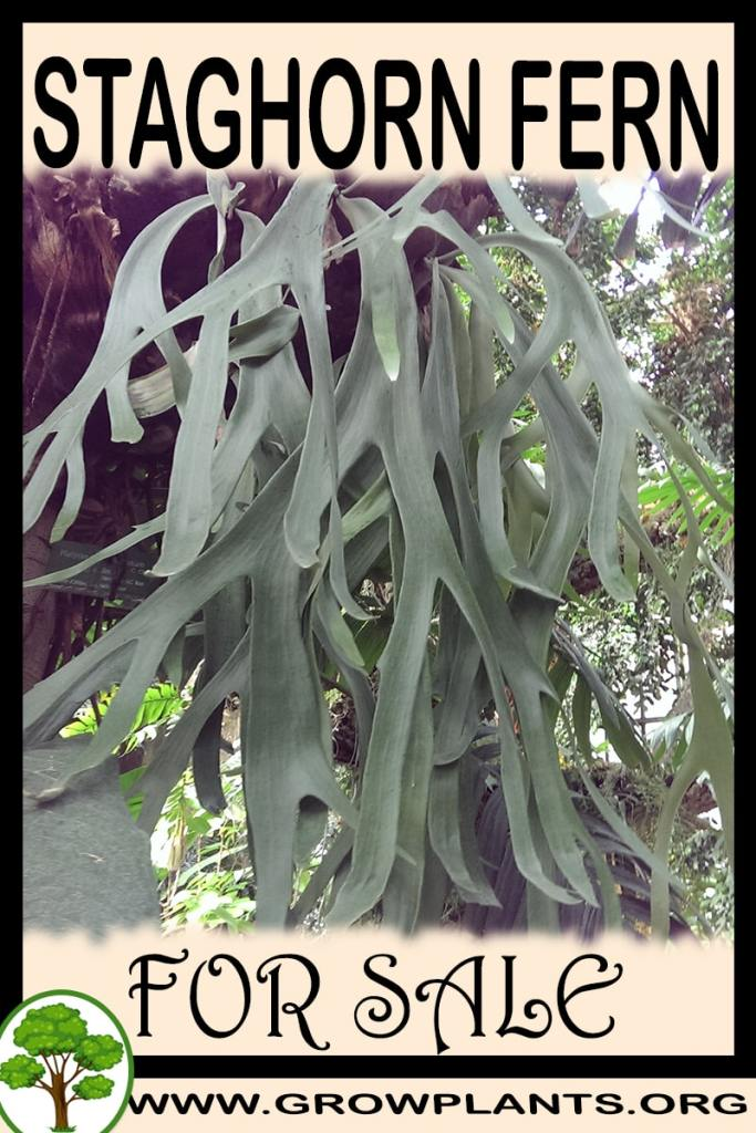 Staghorn fern for sale