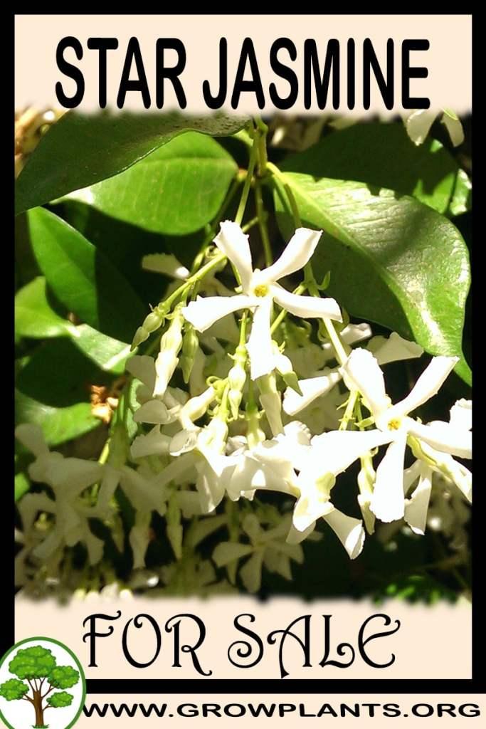 Star jasmine for sale