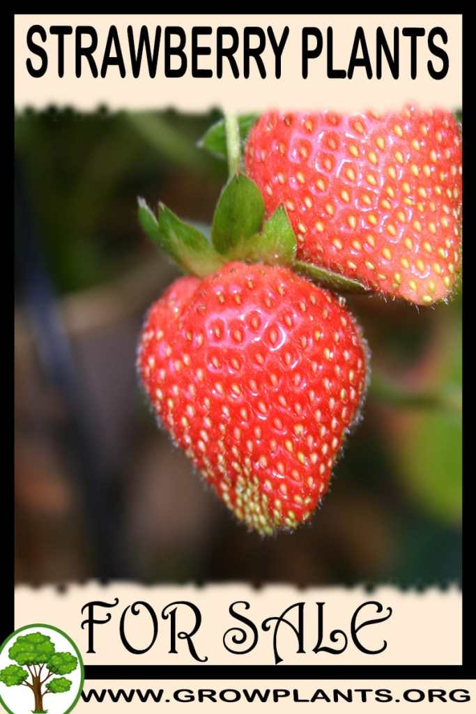 Strawberry plants for sale