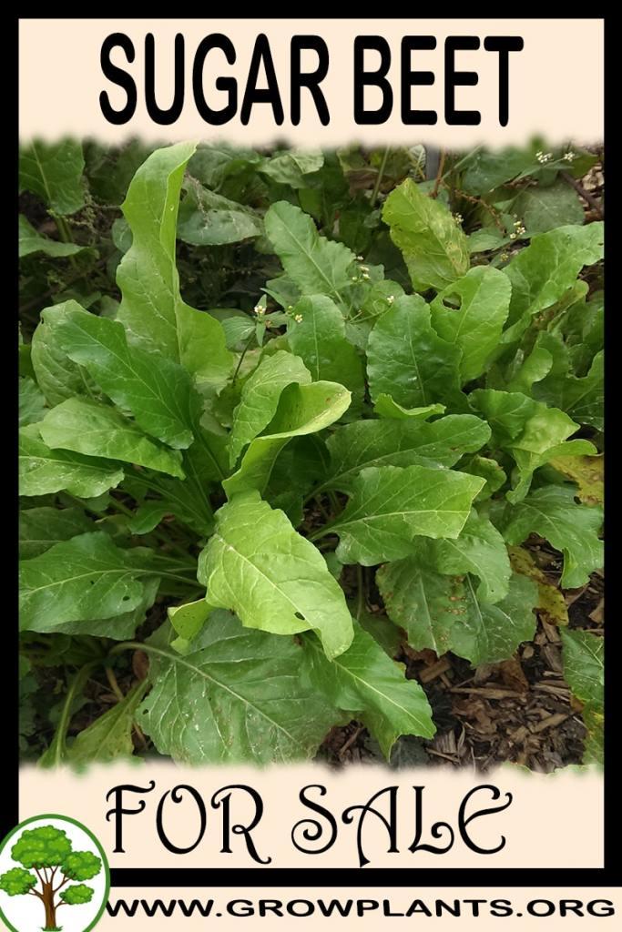 Sugar beet for sale