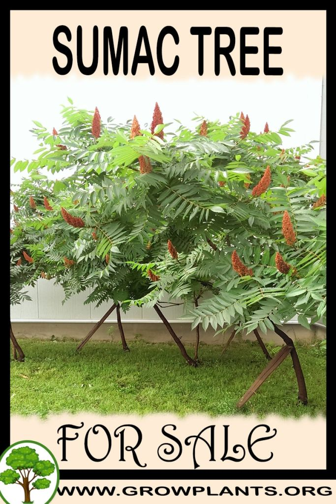 Sumac tree for sale