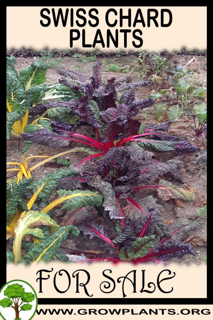 Swiss chard plants for sale