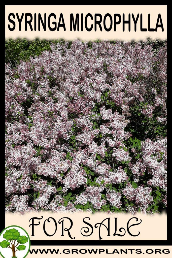 Syringa microphylla for sale