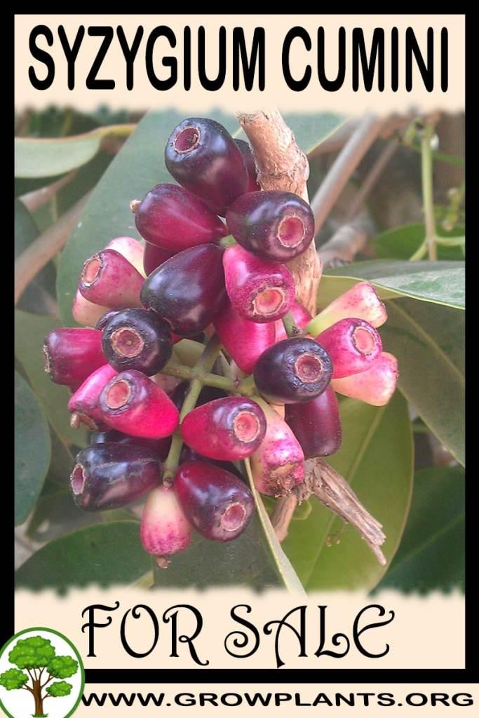 Syzygium cumini for sale