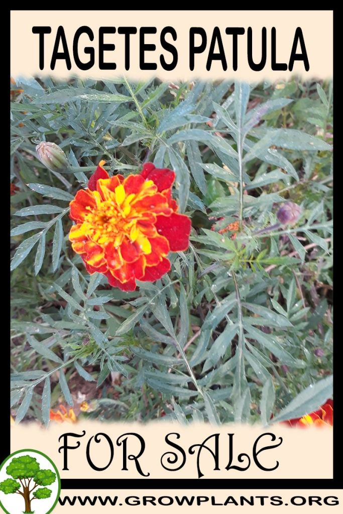 Tagetes patula for sale