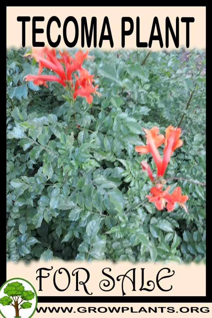 Tecoma plant for sale