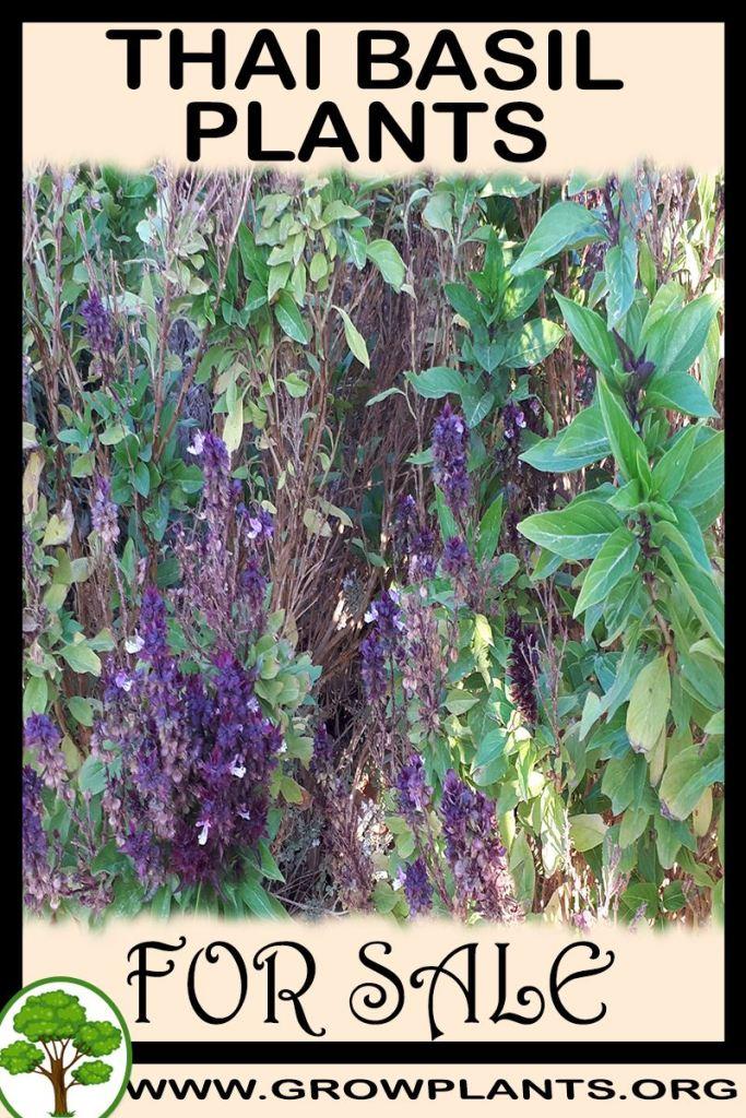 Thai basil plants for sale
