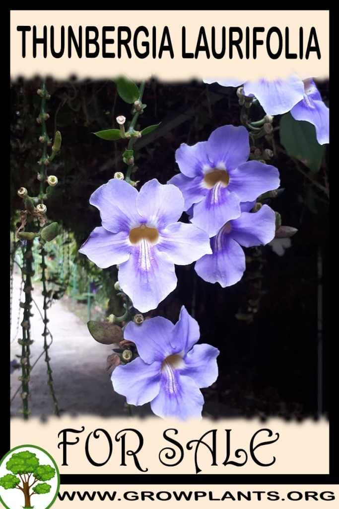 Thunbergia laurifolia for sale