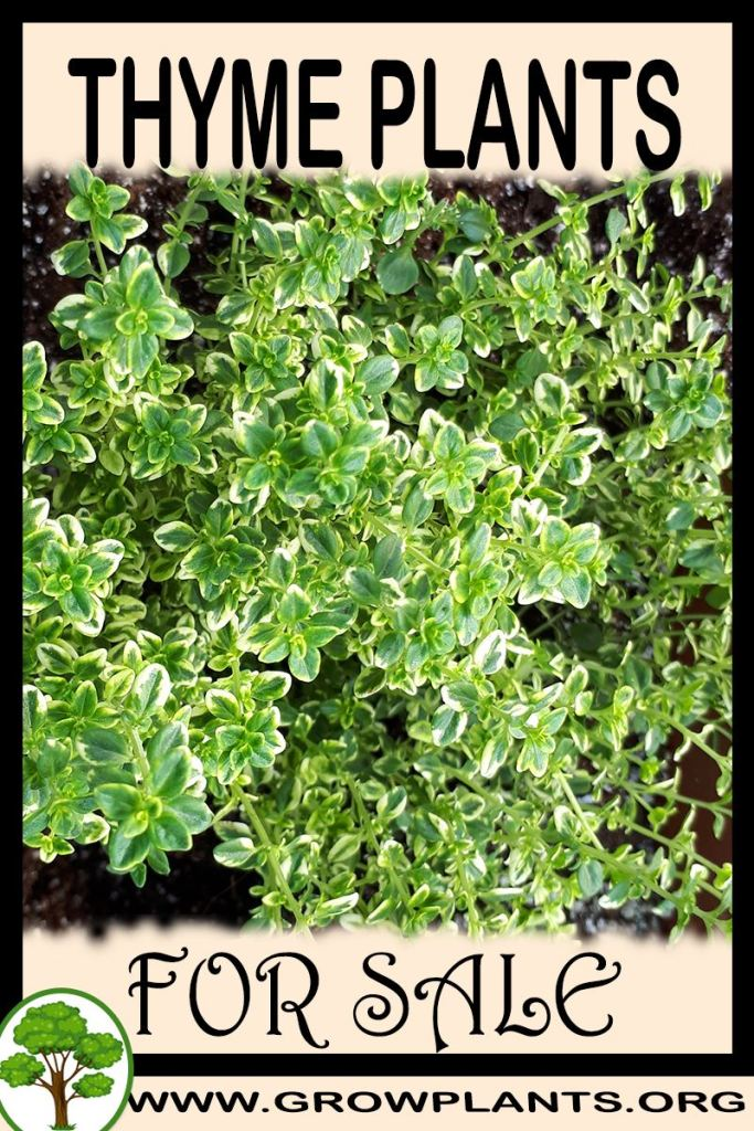 Thyme plants for sale
