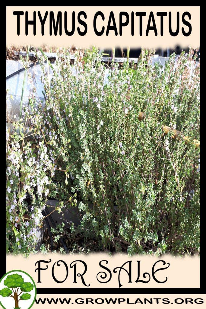 Thymus capitatus for sale