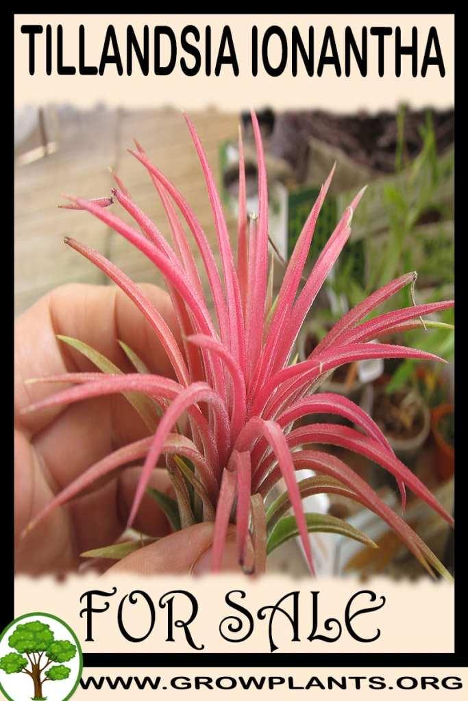 Tillandsia ionantha for sale