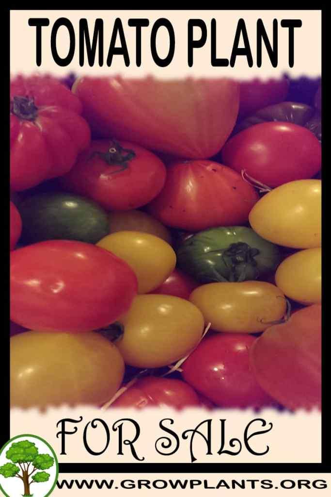 Tomato plant for sale