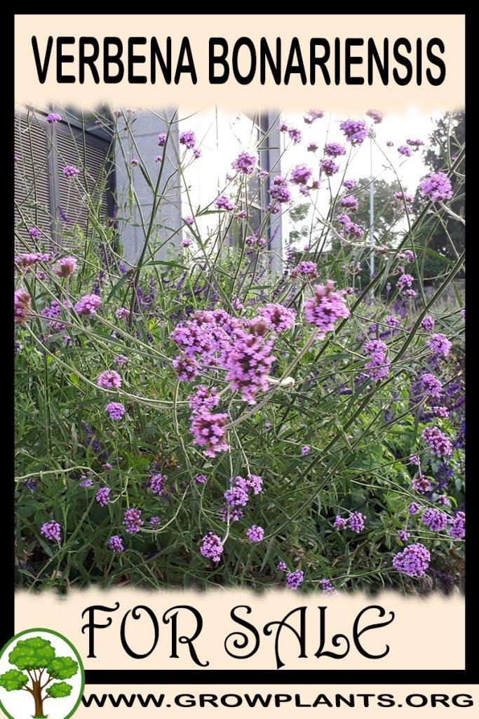 Verbena bonariensis for sale