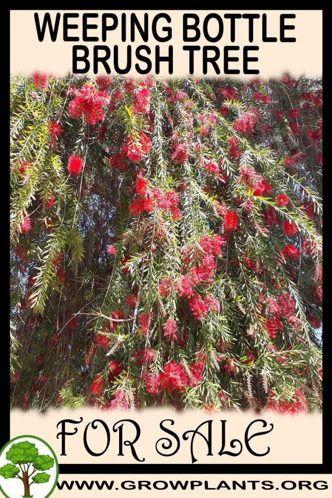 Weeping bottlebrush tree for sale