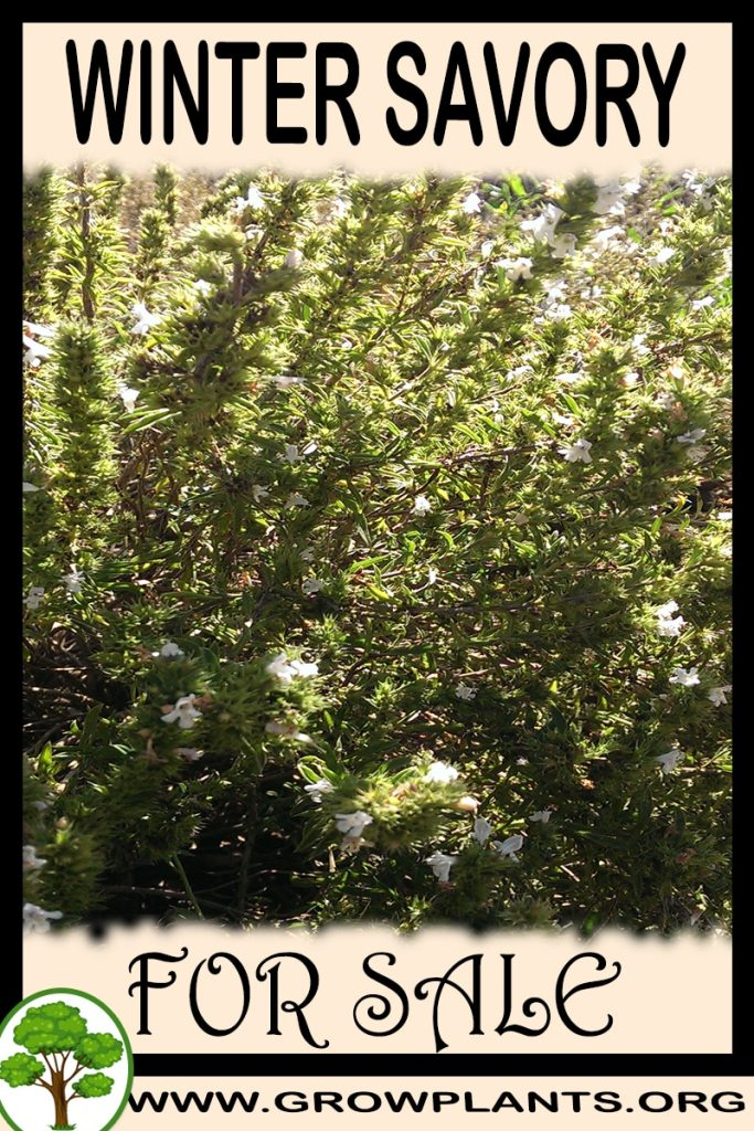 Winter savory for sale