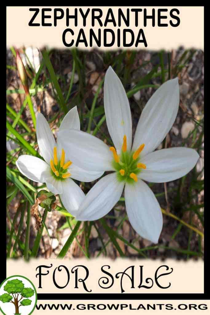 Zephyranthes candida for sale
