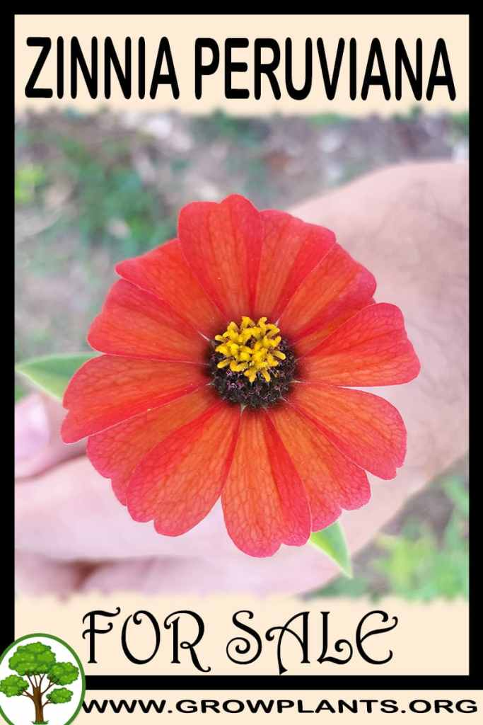 Zinnia peruviana for sale