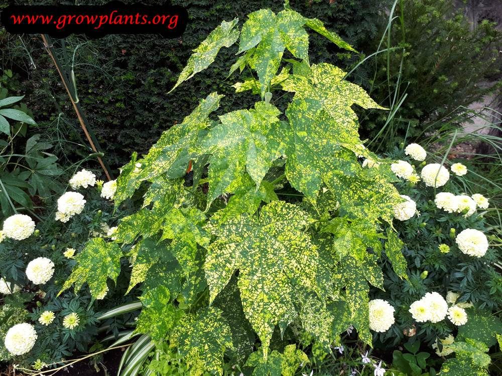 Abutilon Pictum How To Grow Care