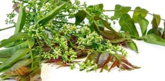 Nim ou Neem - (Azadirachta indica)