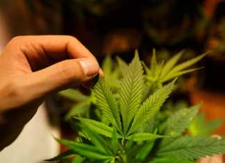 cultivo, caseiro, planta, maconha, folha, cannabis, habeas corpus