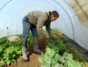 Michael Kilpatrick picks flower buds from over-wintered kale in one of the hoop houses at Kilpatrick Family Farm in Granville Friday, April 25, 2014. The farm is in the process of being officially certified organic after farming naturally for years. Kilpatrick said the certification will allow the farm to command a premium price in the wholesale market, and reduce the need for educating his customers about the farm's growing practices. (Jason McKibben - jmckibben@poststar.com)